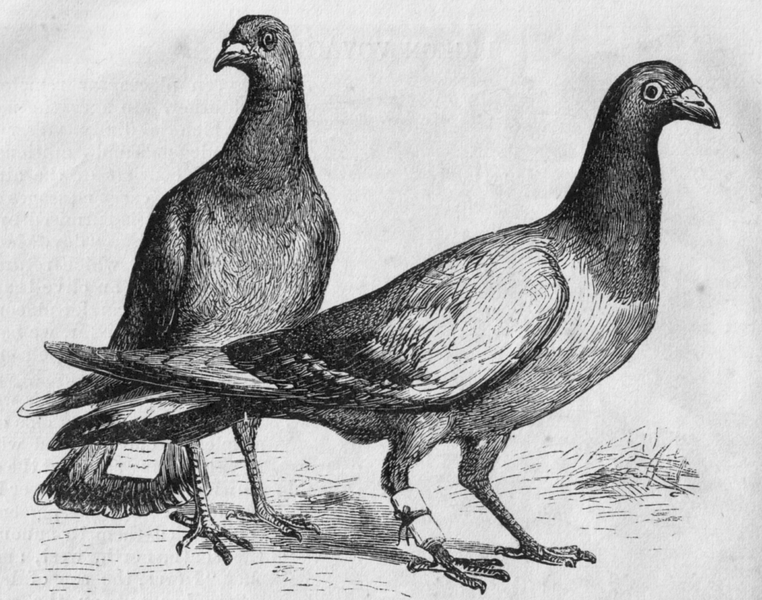 762px-Pigeon_Messengers_(Harper's_Engraving)