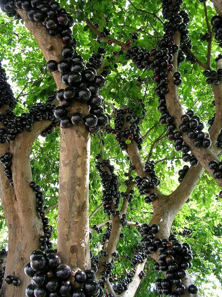 Jabuticaba 1Credit Flickr User robertohoffman.jpg